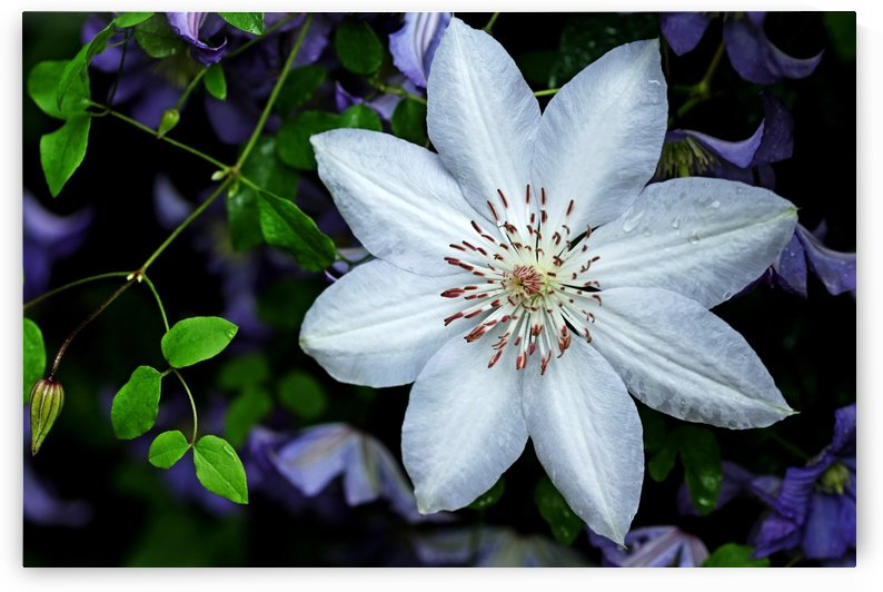 White Clematis Surrounded By Purple Clematis by Deb Oppermann