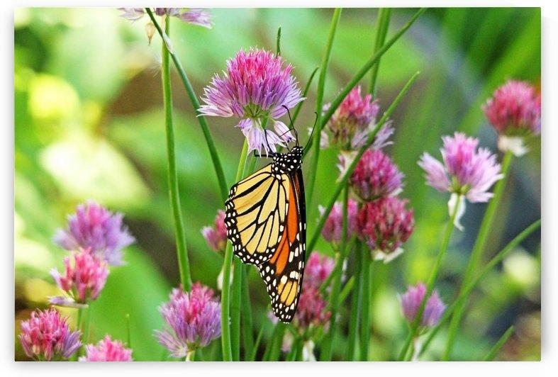 Monarch Butterfly Loving The Purple  Blooms by Deb Oppermann