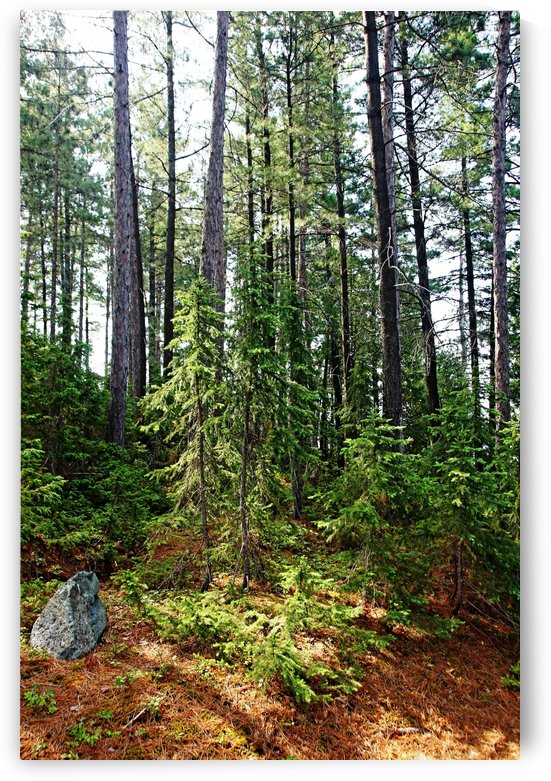 Temagami Island Forest by Deb Oppermann