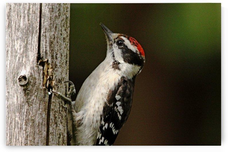 Juvenile Downy Woodpecker by Deb Oppermann