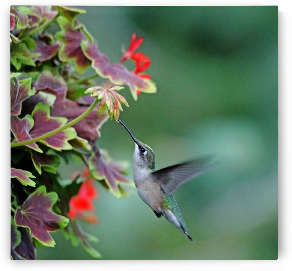 Hummingbird Loving The Orange Geranium by Deb Oppermann