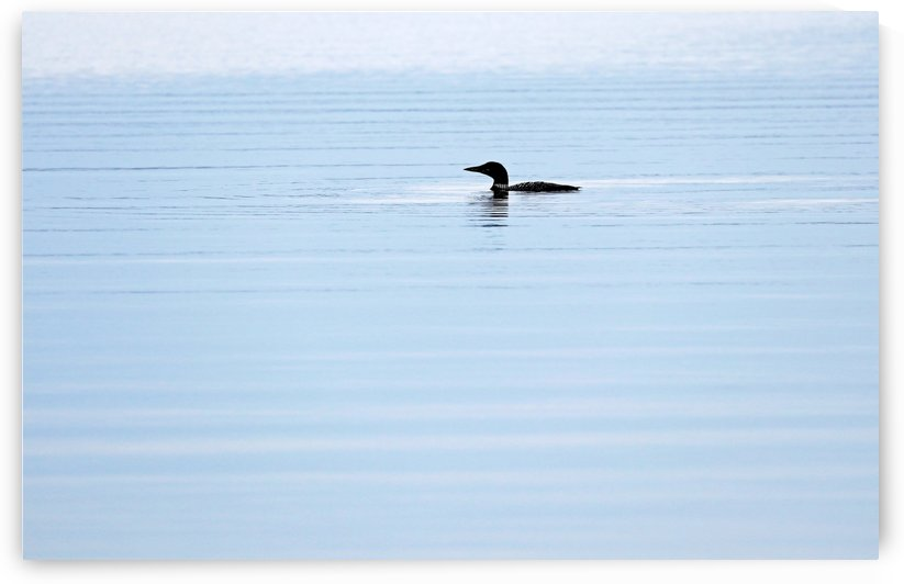Loon In Early Morning Light by Deb Oppermann