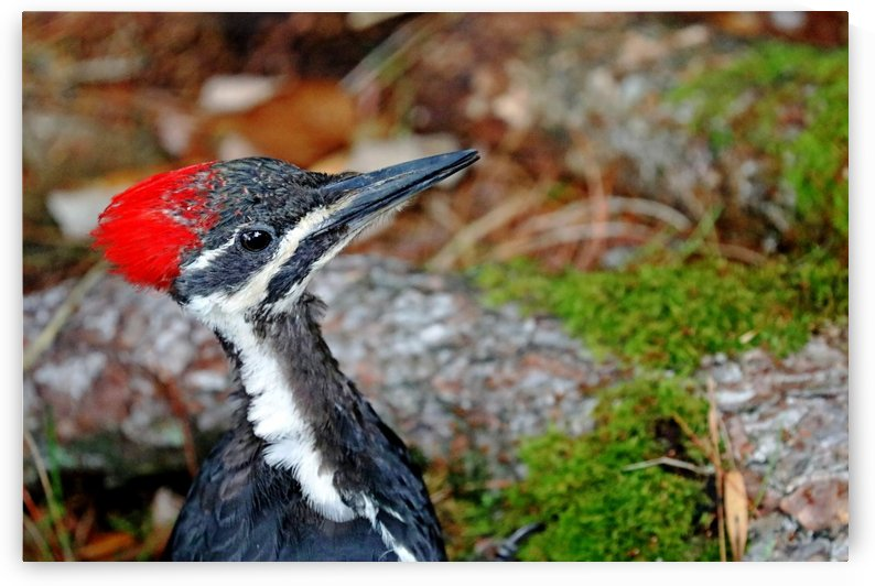 Juvenile Female Pileated Woodpecker by Deb Oppermann