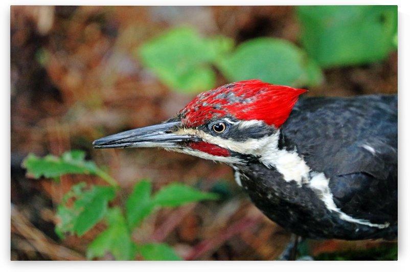 Juvenile Male Pileated Woodpecker by Deb Oppermann