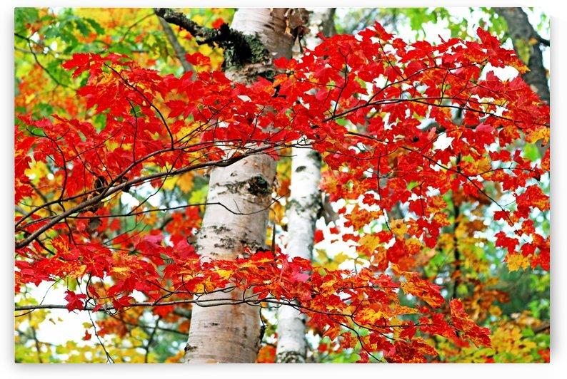 Maple Birch And Oak Medley by Deb Oppermann