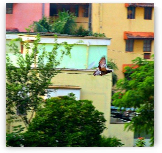 Pigeon in flight by Nilu Mishra