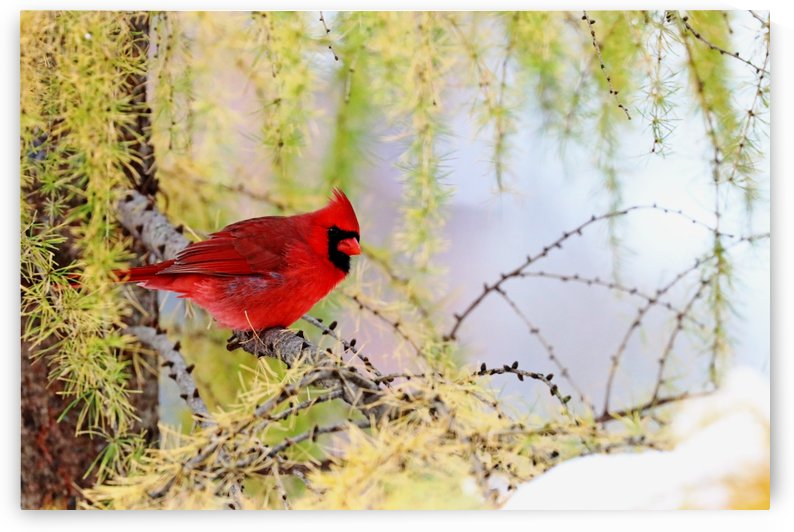 Cardinal In The Larch by Deb Oppermann