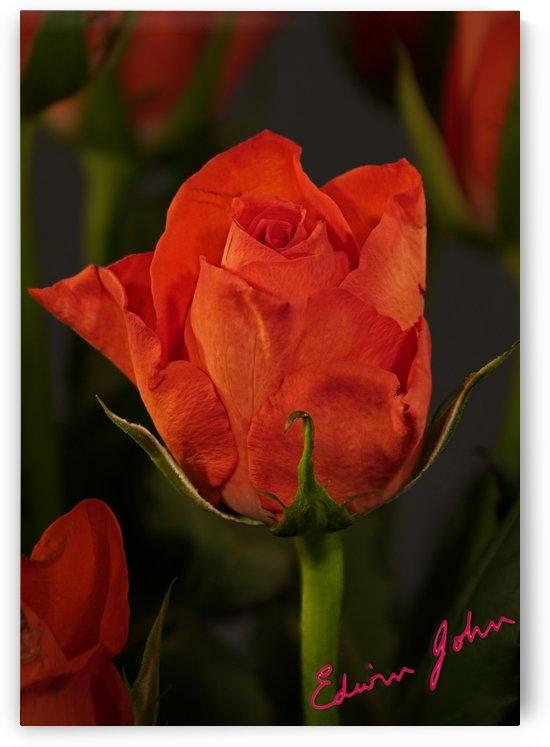 Single Dark Red Rose Edwin John by Edwin John