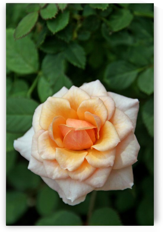 Pretty as a Rose by Deb Colombo