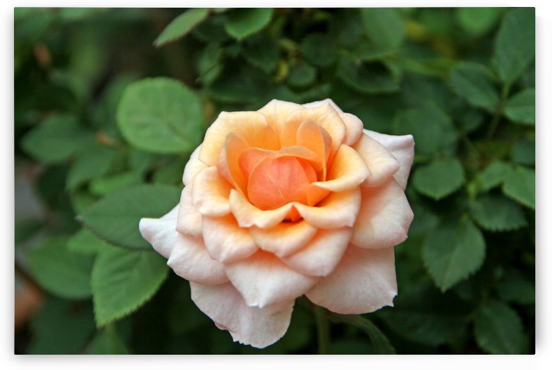 Pretty as a Rose II by Deb Colombo