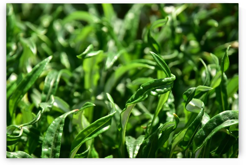 Plants - Leaves - 001 by Rich Lasam