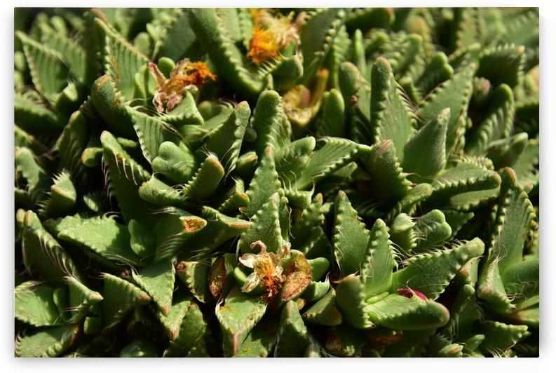 Plants - Cactus - 004 by Rich Lasam