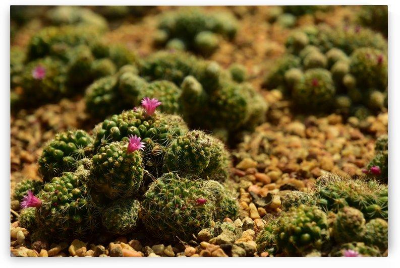 Plants - Cactus - 003 by Rich Lasam