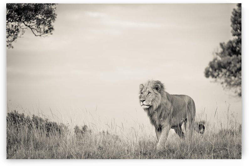 Proud King by JADUPONT PHOTO