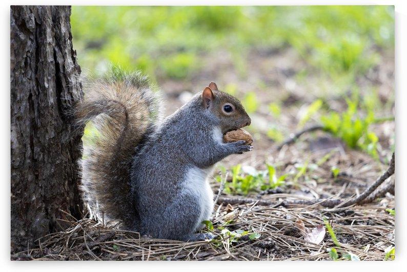 eastern gray squirrel by Pietro Ebner