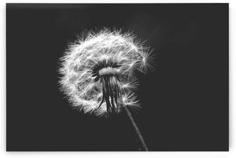 Fragility of Dandelion Wall Art Decoration by Kikkia Jackson
