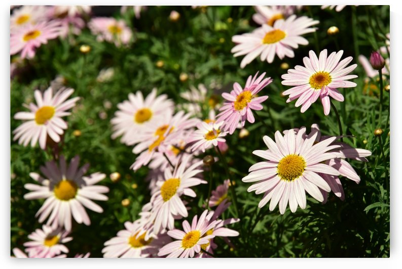 Plants - Flowers - 009 by Rich Lasam