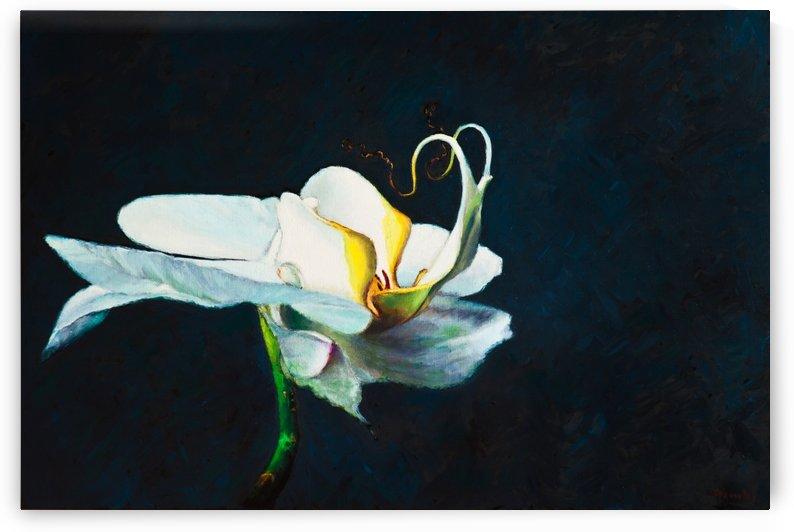 White phalaenopsis blanc   by Jocelyne maucotel