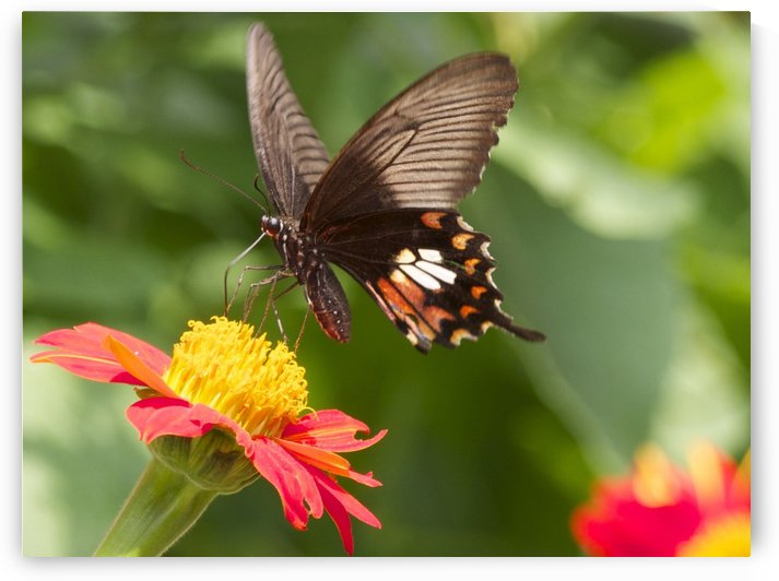 butterfly on zinnia by Asia Visions Photography