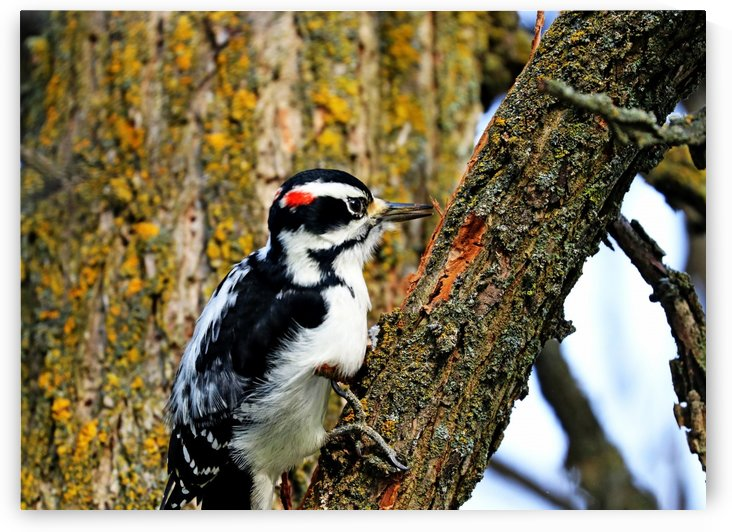 Hairy Woodpecker At Work by Deb Oppermann
