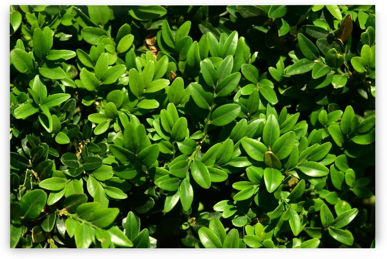 Plants - Leaves - 004 by Rich Lasam