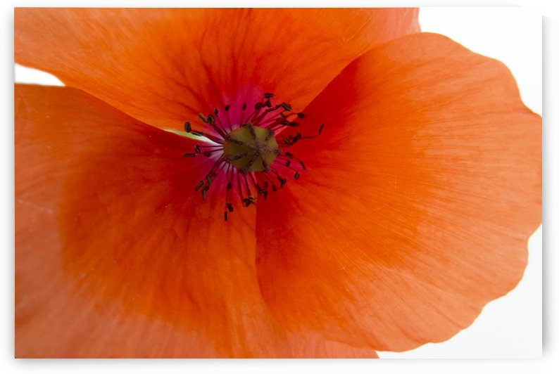 Orange Poppy Flower by Christy Garavetto