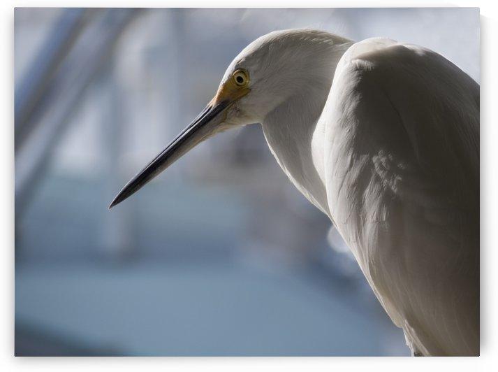 Egret Bird close up by Christy Garavetto