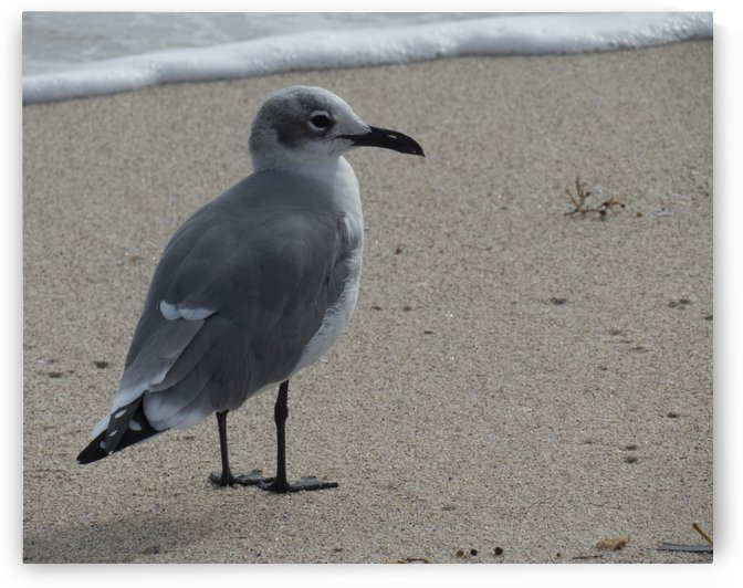 Seagull standing by Christy Garavetto