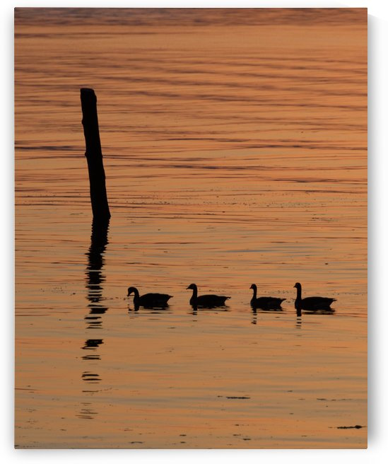 Ducks in a row by Violet Carroll