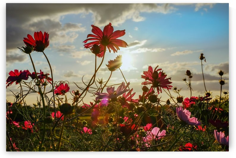 cosmea, flowers, bloom, evening sun, backlighting, shining, field of flowers, cosmos, cosmea bipinnata, pink, red, plant, ornamental plant, composites, asteraceae, ornamental flower, schnittblume, by fabartdesigns