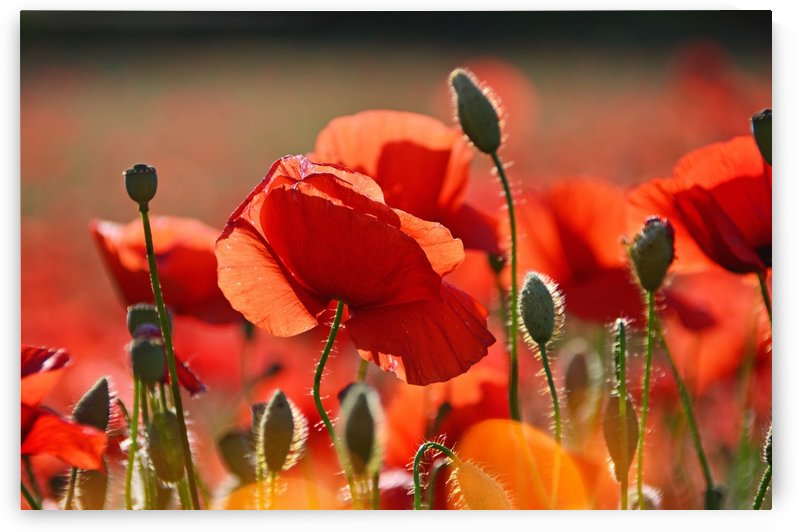 red, red poppy, poppy, field, meadow flower, nature, flower, plant, red flower, summer plants, poppies, summer, mood, idyllic, flora, summer flower, wildflower, by fabartdesigns
