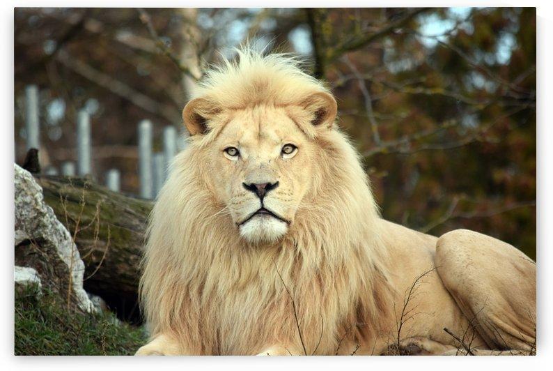 White Lion Resting by Kikkia Jackson