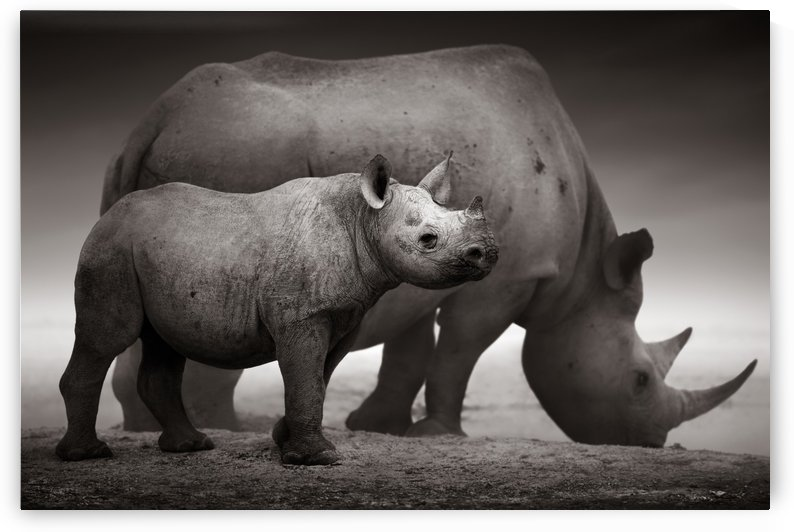 Black Rhinoceros calf by Johan Swanepoel