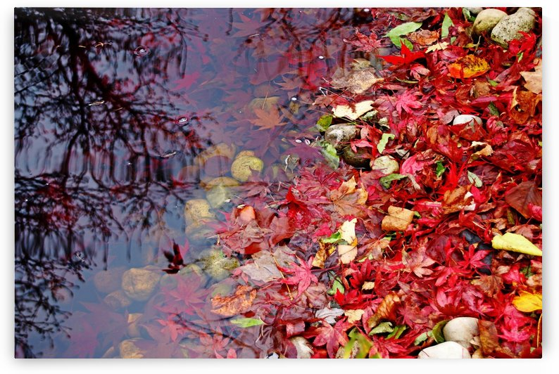 Fallen Japanese Maple Leaves In Pond by Deb Oppermann