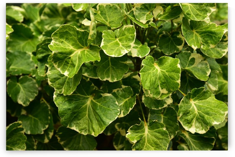 Plants - Leaves - 006 by Rich Lasam
