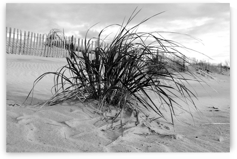 Dune grass Black and White by Shore Shots by Jerry Hussar
