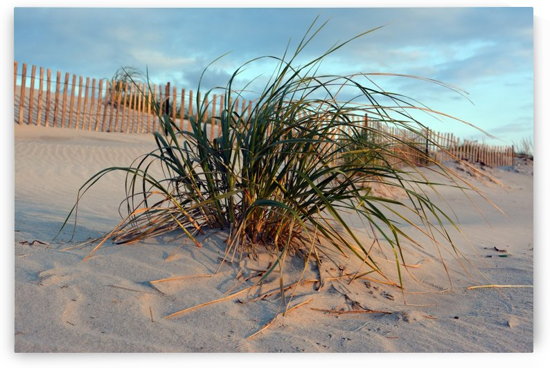 Dune grass 1 by Shore Shots by Jerry Hussar