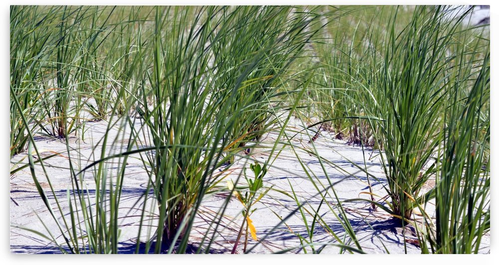 Dune grass by Shore Shots by Jerry Hussar