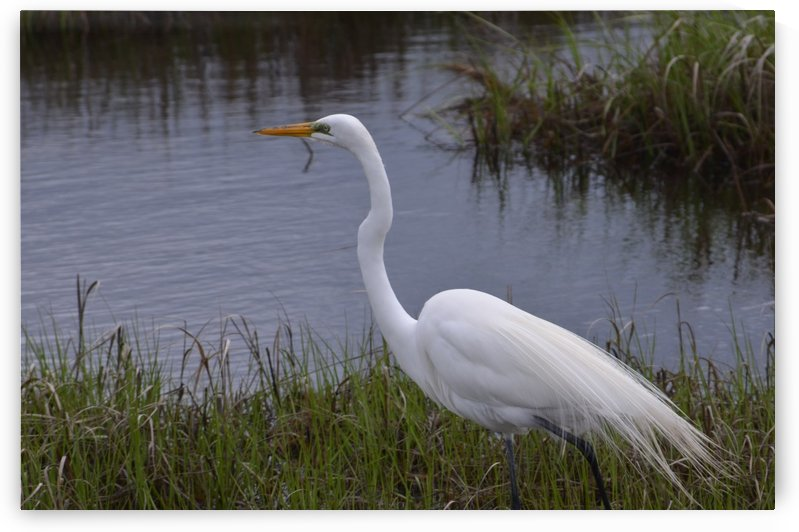 Cattle Egret by Frederick Missel