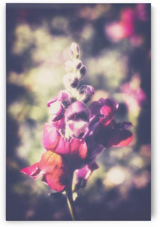 Lupine Fuchsia by Ira Silence