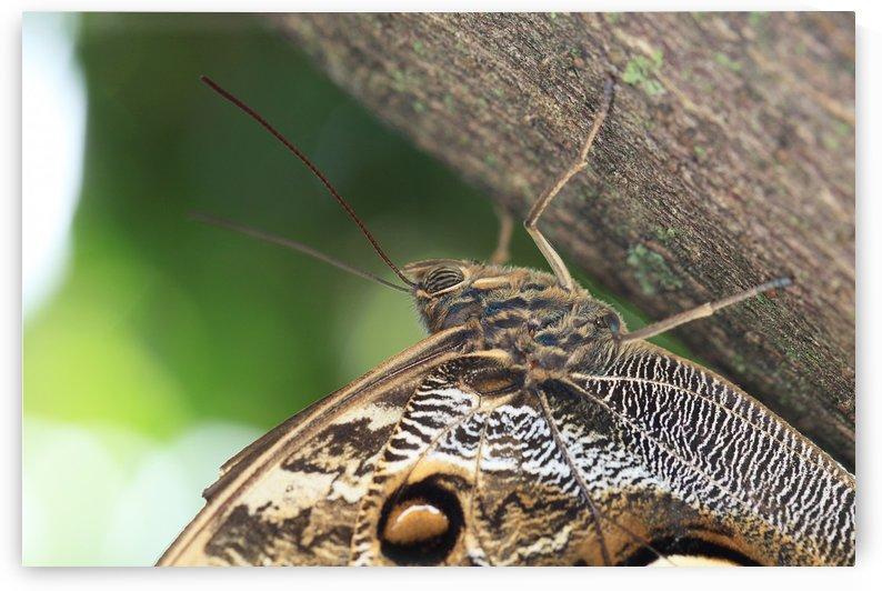 Caligo Idomenius Butterfly by Alex Galiano
