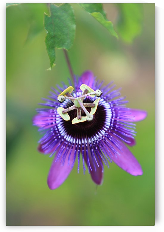Passiflora Loefgrenii x Caerulea by Alex Galiano