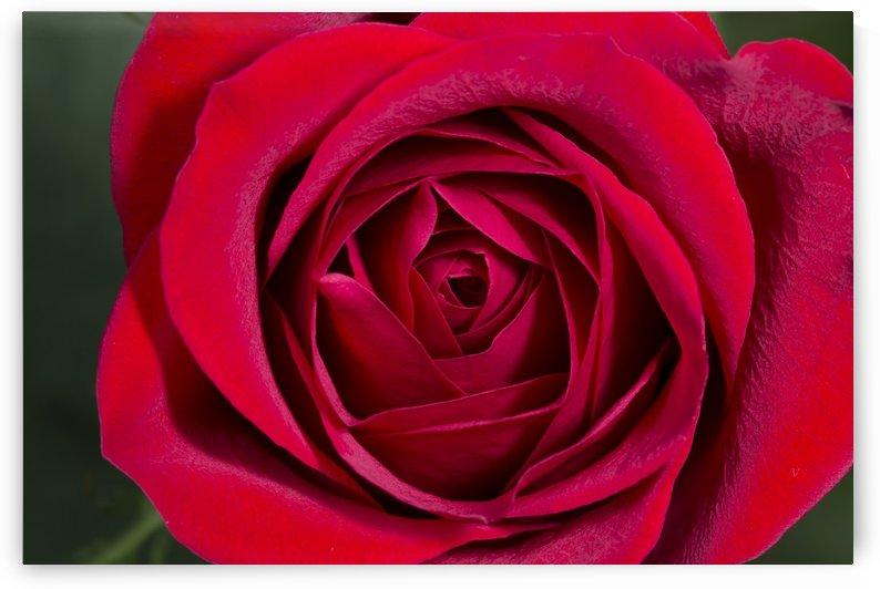 Red Velvet Rose by Alex Galiano