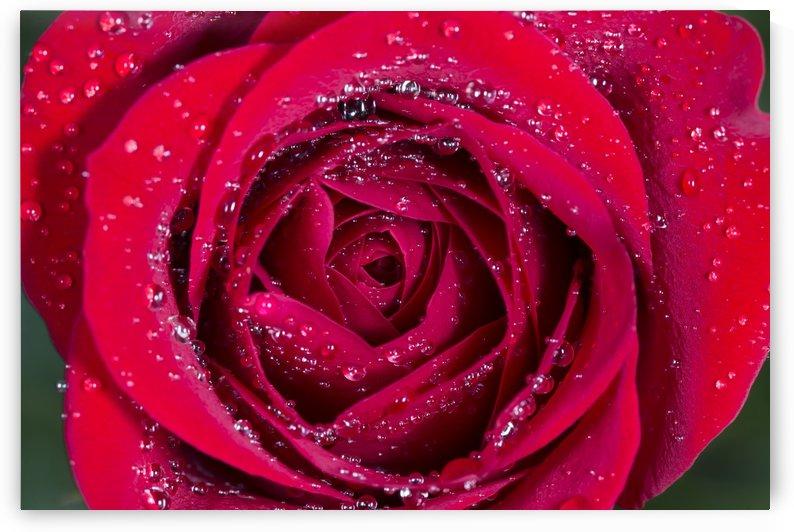 Raindrop Rose by Alex Galiano