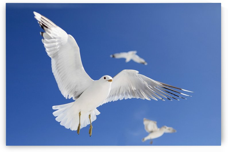 Seagulls by Alex Galiano