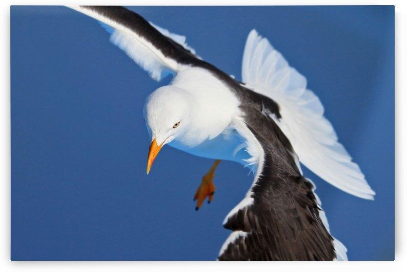 Seagull in Baltic Sea by Alex Galiano