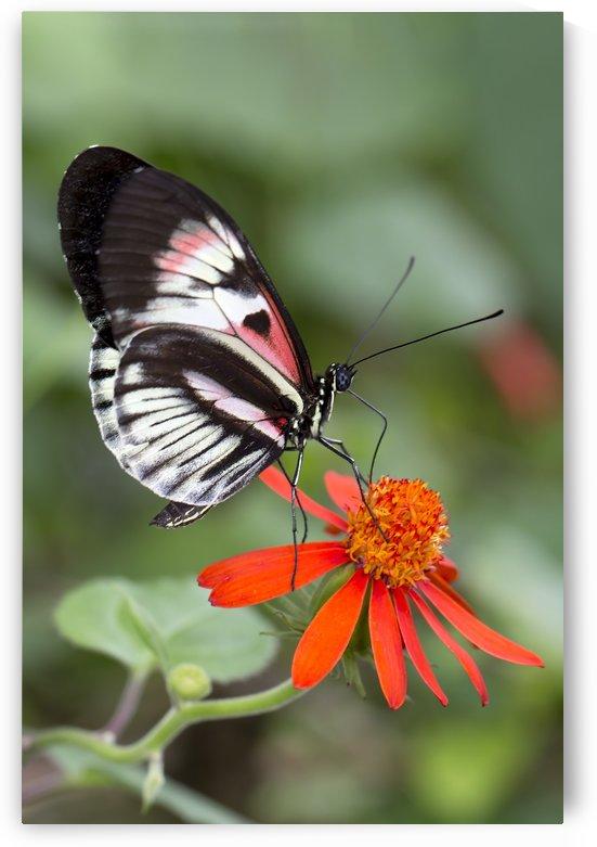 Piano Key Butterfly by Alex Galiano