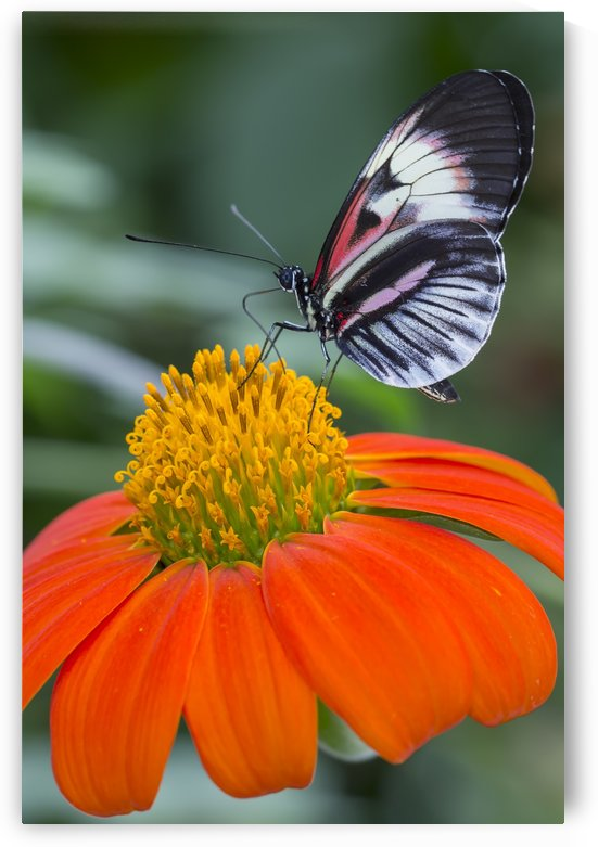 Butterfly by Alex Galiano