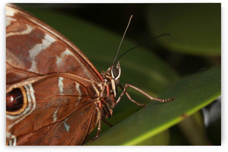 Morpho Peleides Butterfly by Alex Galiano