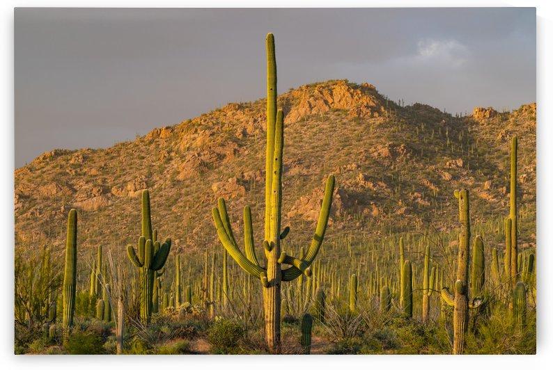 Saguaro Sunset Storm Light by Steve Luther